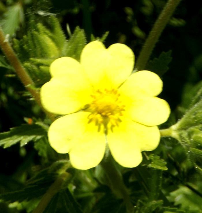 yellow-cinquefoil-wildflower-summer