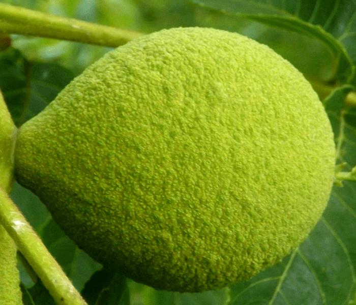 black-walnut-summer-holland-river