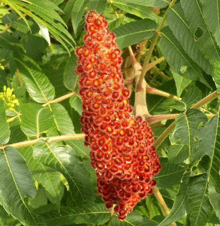 dwarf-sumac-fruit-red-orange-summer-holland-river