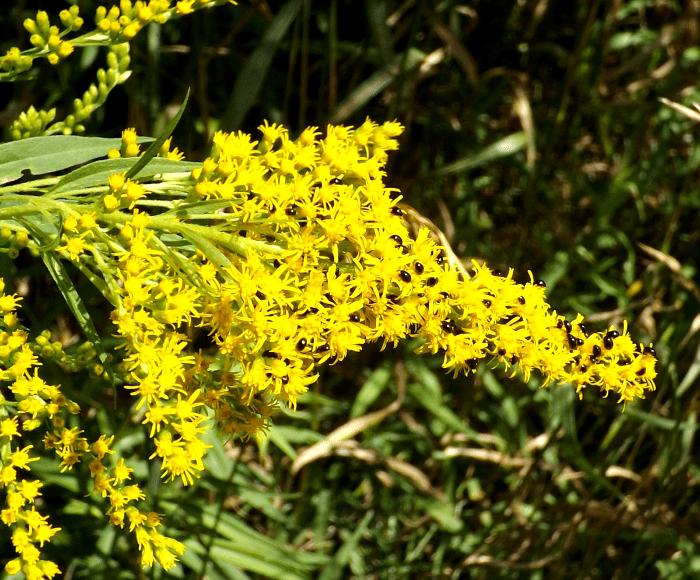 goldenrod-beetles-side-summer