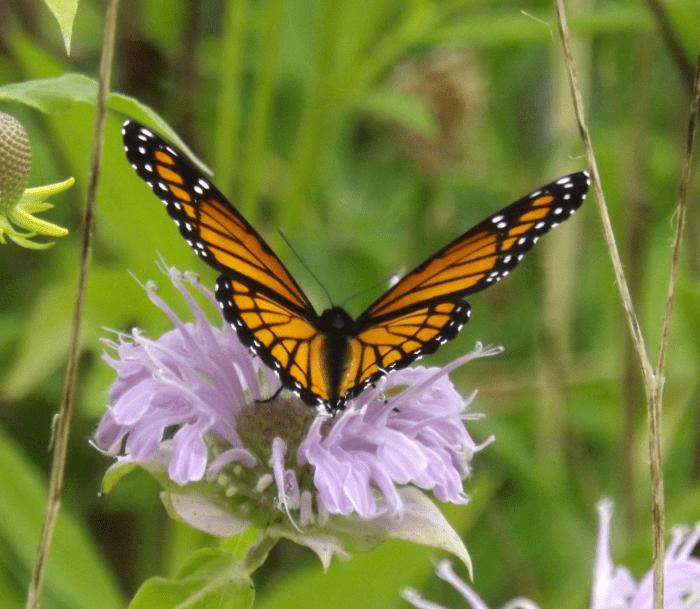 monarch-butterfly-wild-bergamot-bee-balm-wings-open-small