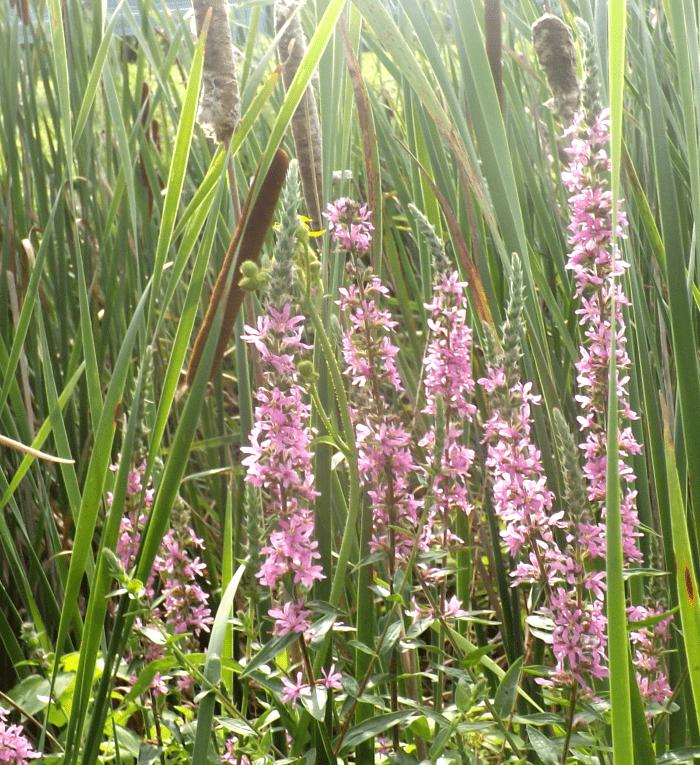 purple-loosestrife-wide-marsh-reeds-summer-holland-river