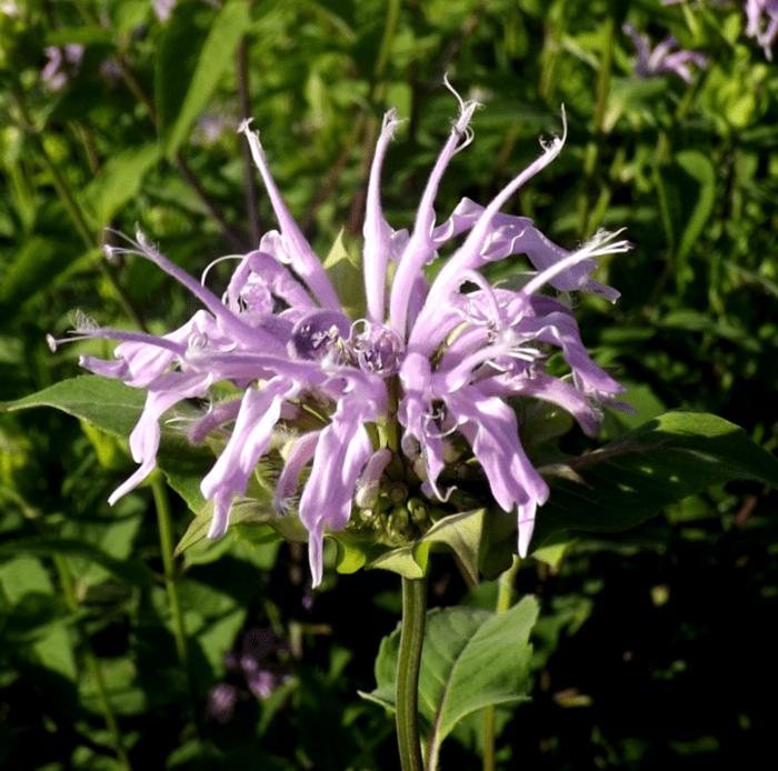 purple-wildflower-wild-bergamot-closeup-summer-bee-balm