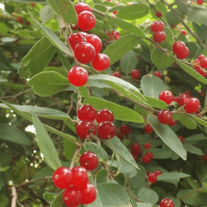 red-berries-shrub-gooseberries-wild-summer