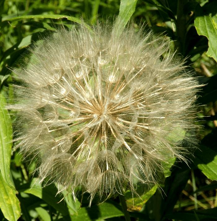 western-salsify-large-dandelion-clock-summer