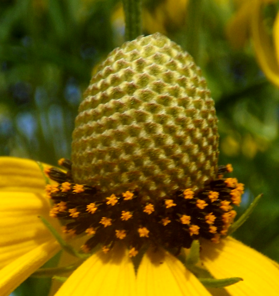 yellow-coneflower-side-bald-cone-summer-holland-river