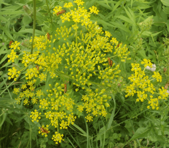 Weed a season by a river yellow weed with red beetles mating summer mightylinksfo