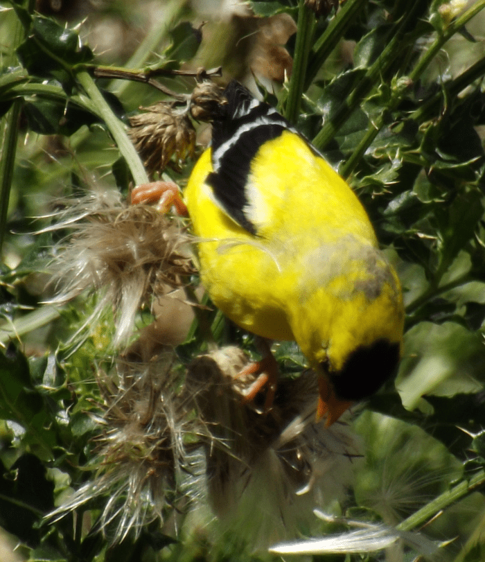 american-goldfinch-yellow-eating-thistle-summer-looking-down