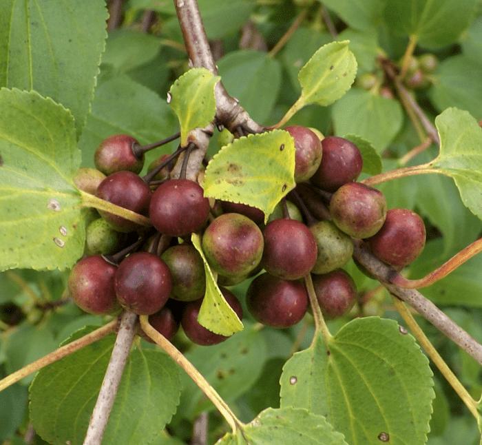 berries-tree-opposite-leaves-summer-purple