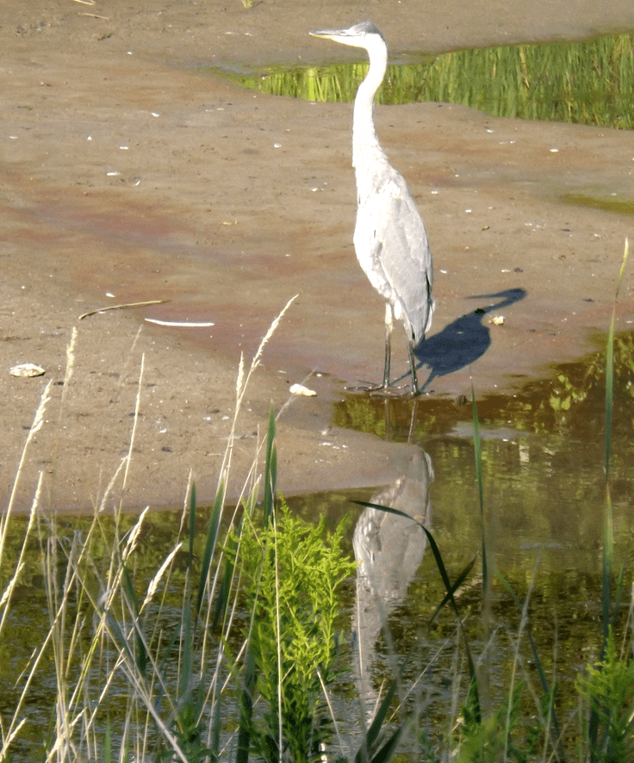 stalking-great-blue-heron-sunrise-mud-summer