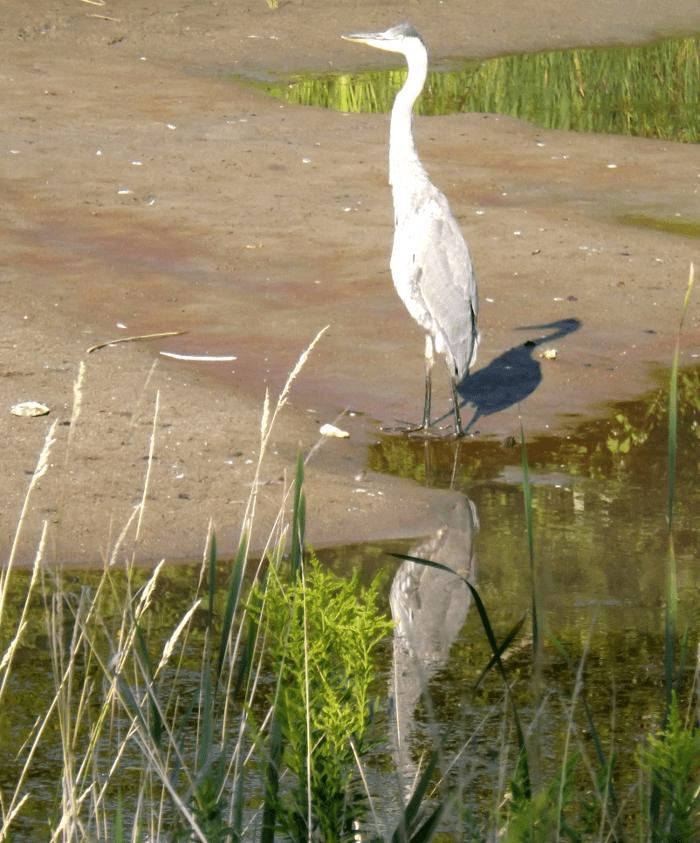 stalking-great-blue-heron-sunrise-mud-summer