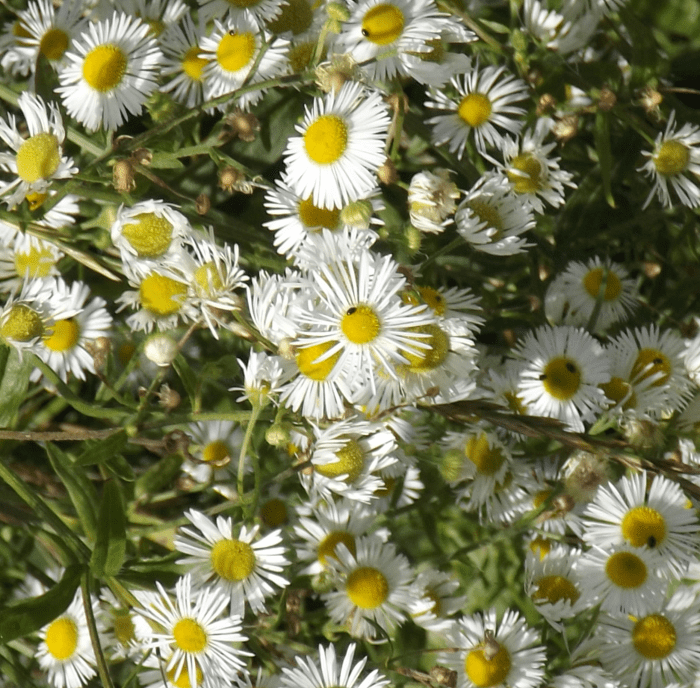 white-asters-cluster-summer