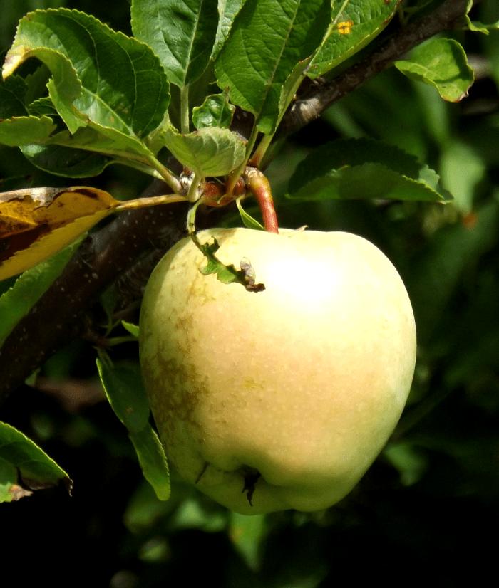 wild-apple-summer