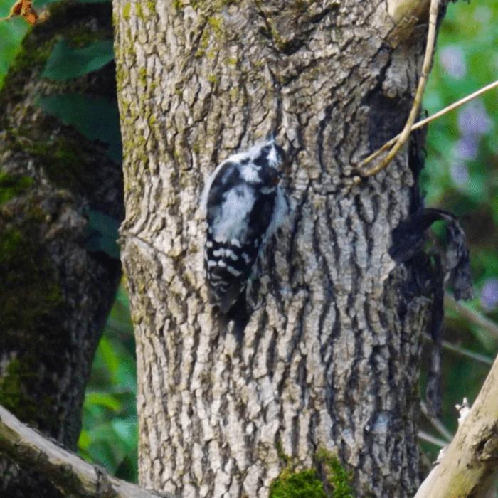 woodpecker-on-tree-summer