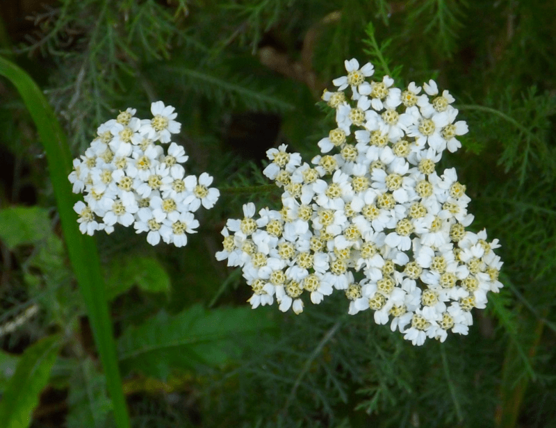 arrowroot-yarrow-autumn-white-wildflower