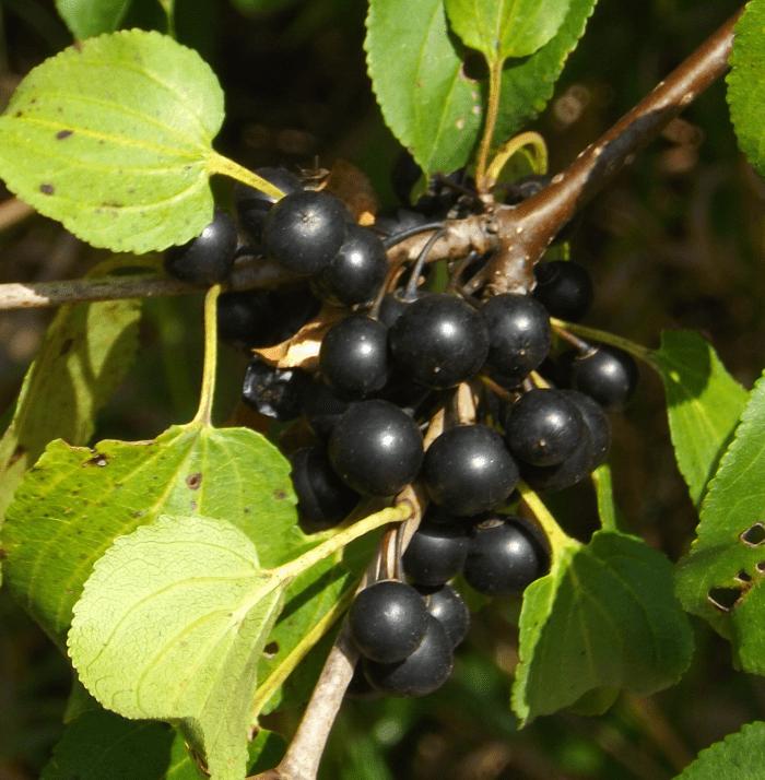 black-blue-berries-summer-tree