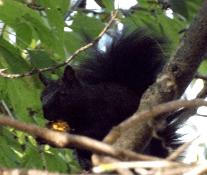black-squirrel-eating-black-walnut-autumn-afternoon