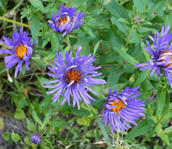 blue-aster-flowers-yellow-summer