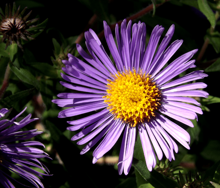 blue-aster-summer-purple-yellow-fall