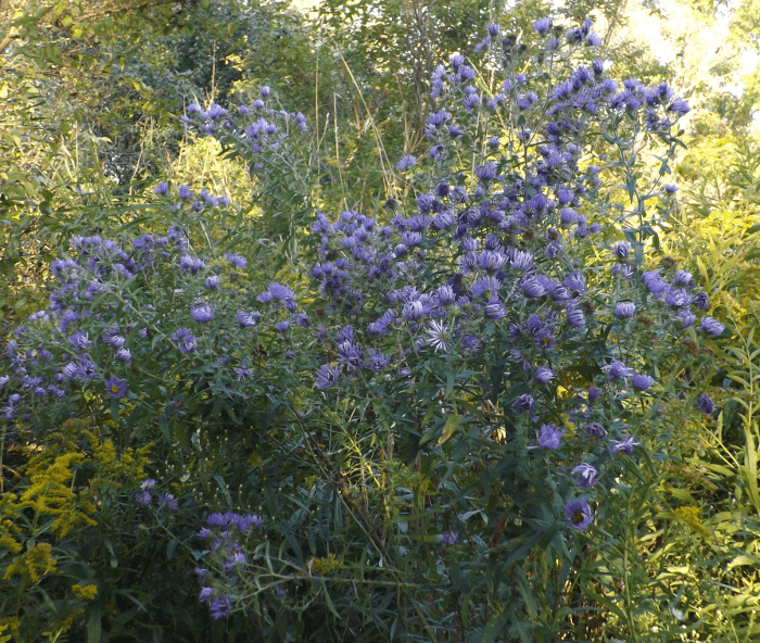 blue-asters-large-cluster