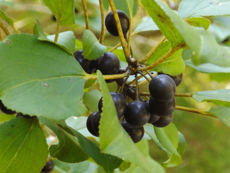 blue-berries-black-autumn-tree