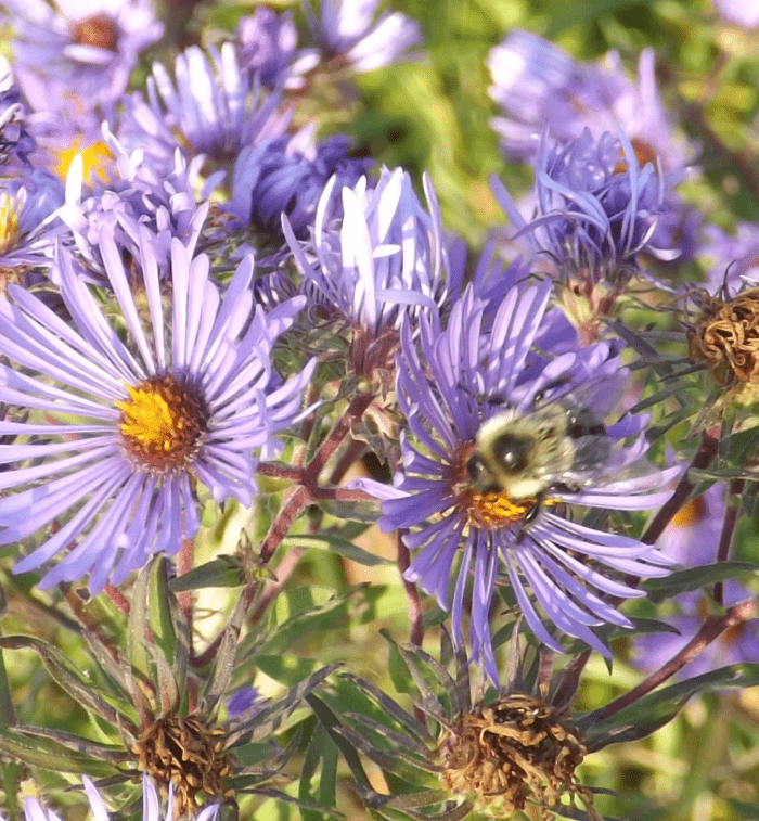 bumblebee-blue-aster