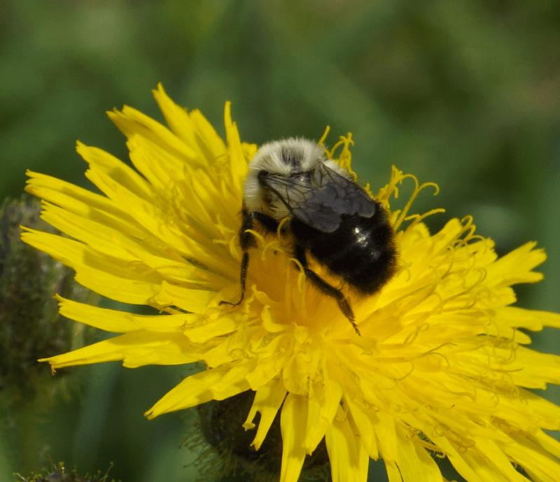 bumblebee-on-dandelion-autumn-midday