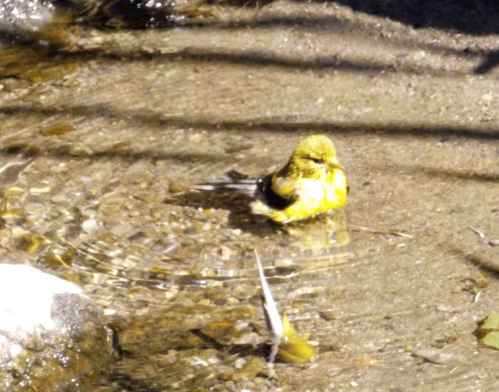 goldfinch-bathing-ripples-water-creek-summer