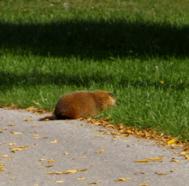 groundhog-eating-path-brave-autumn