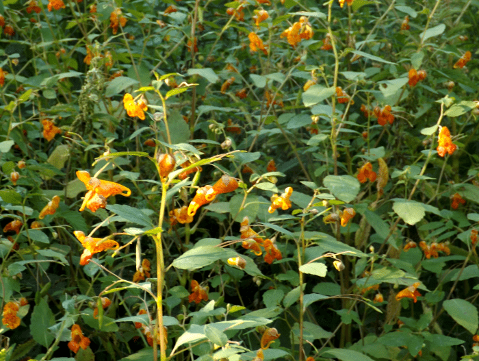 jewel-weed-cluster-marshy-summer