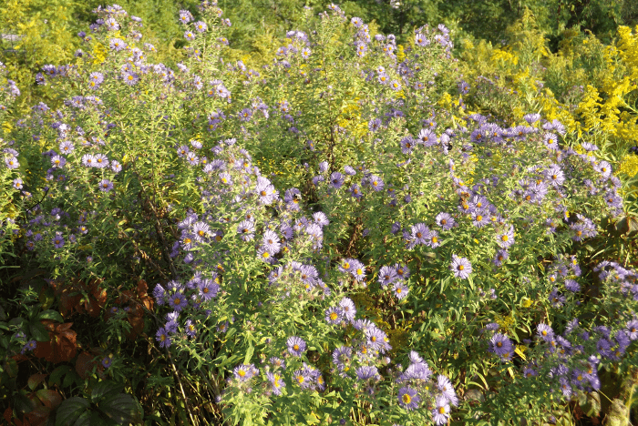 large-cluster-blue-asters-fall-afternoon