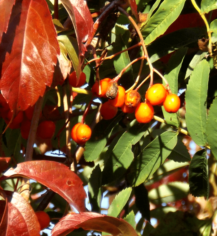 mountain-ash-rowan-tree-fall-orange-berries-red-leaves