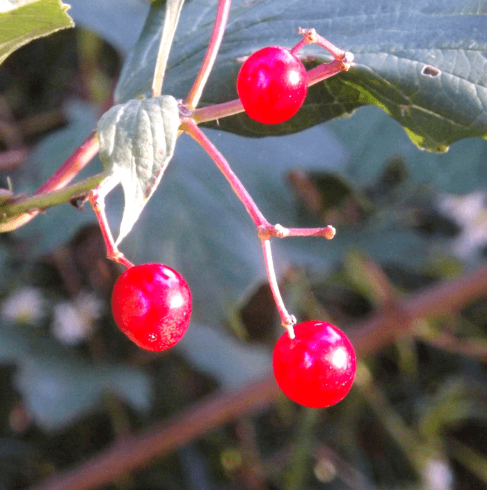 red-berries-pink-autumn-afternoon-sunlight-shining