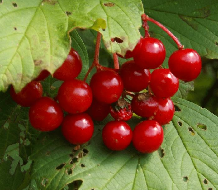 red-berries-summer