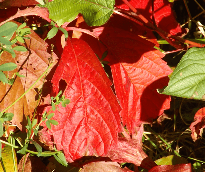 red-leaves-vine-fall