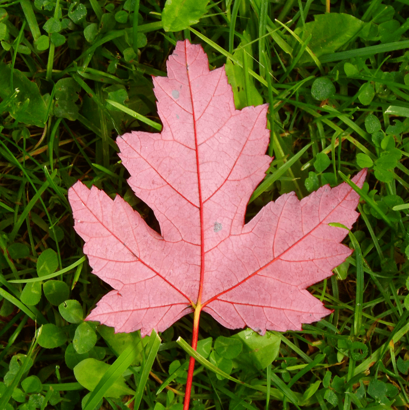 red-maple-leaf-canadian-flag-grass-autumn
