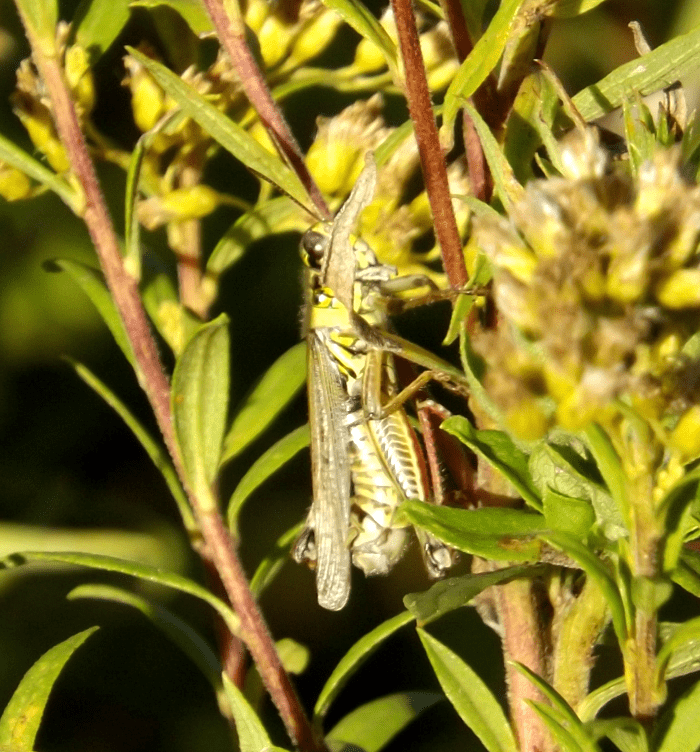 red-tibia-grasshopper-goldenrod-fall