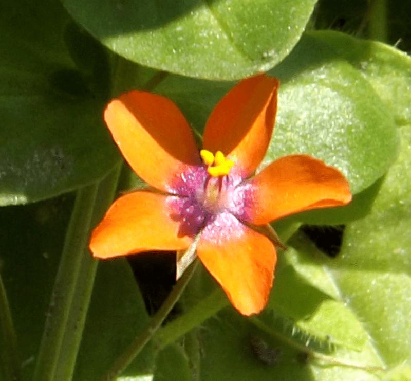 scarlet-pimpernel-autumn-pond-anagallis-arvensis