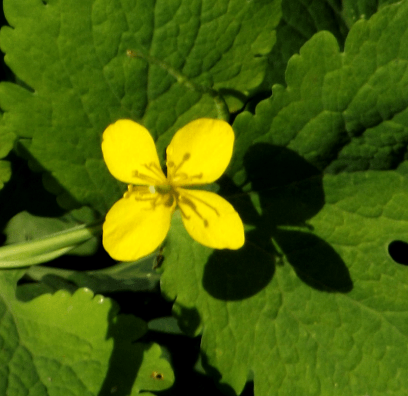 st-johns-wort-herb-wildflower-yellow-four-petals-autumn-midday-shadow