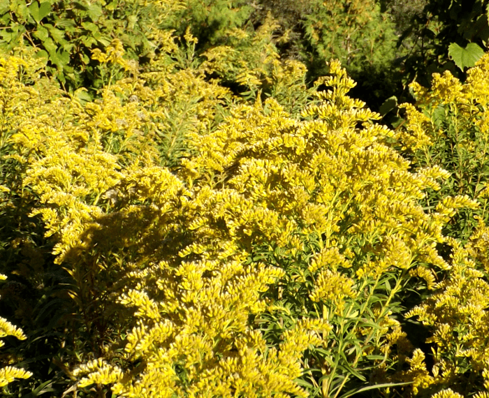 waning-goldenrod-fall