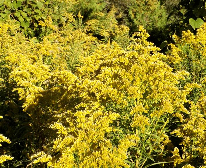 waning-goldenrod-fall
