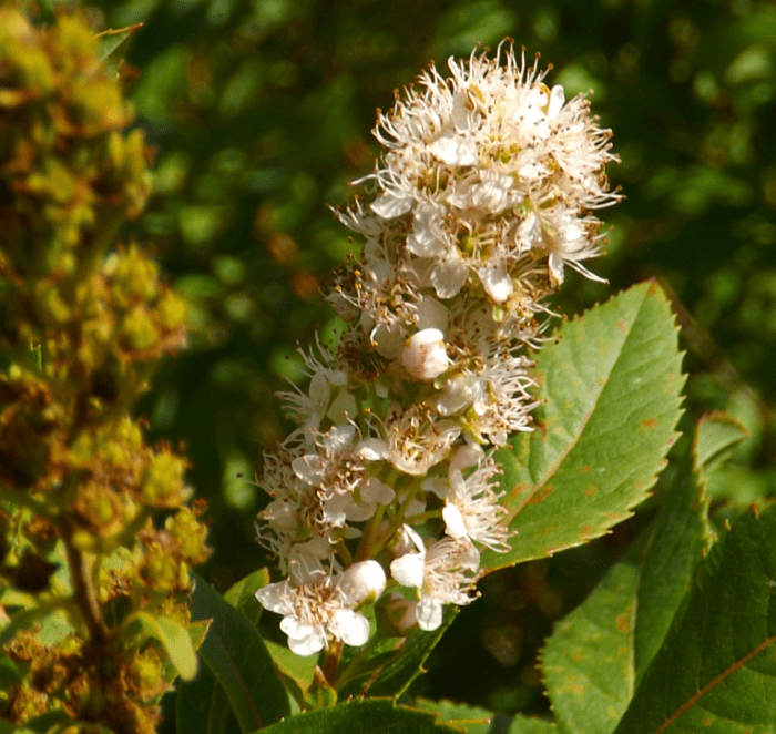 White flower cluster a season by a river white blossom five petal summer shrub mightylinksfo