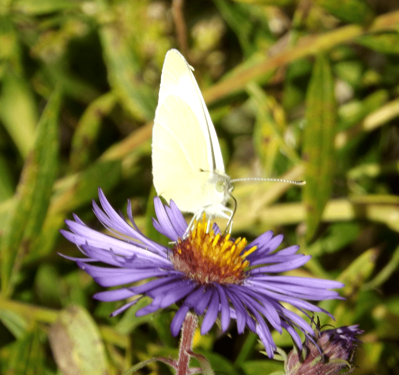 white-cabbage-moth-blue-aster-autumn
