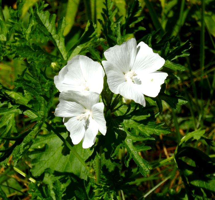 Five petals a season by a river white marsh mallow summer mightylinksfo