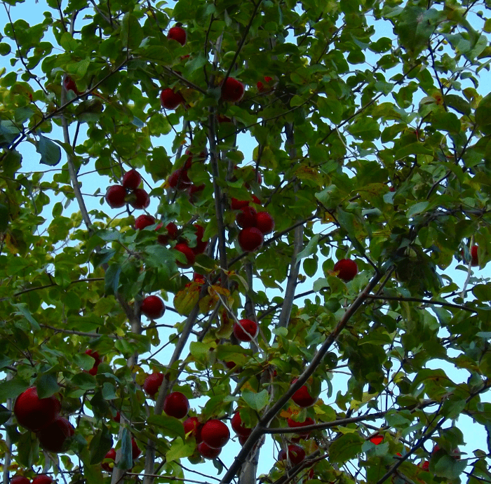 wild-apples-red-afternoon-fall