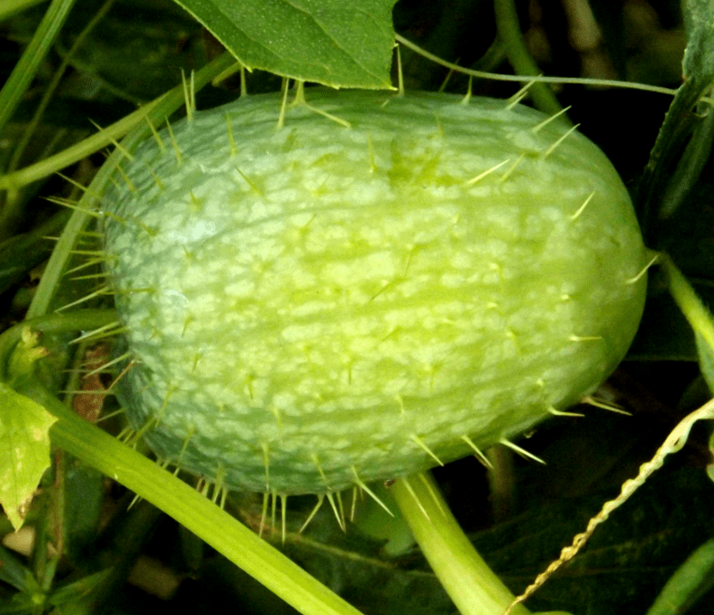 wild-cucumber-ripe-autumn