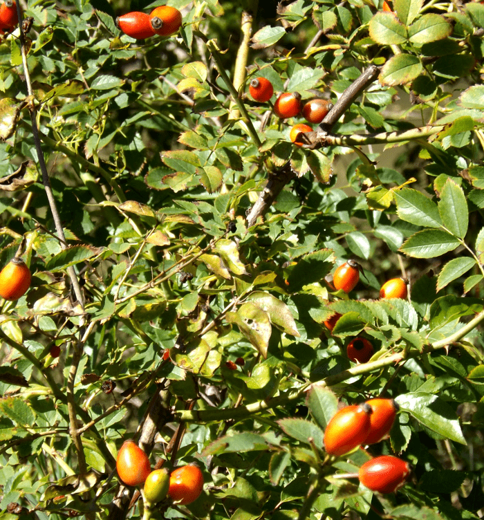 wild-rose-rugosa-rose-hips-orange-summer
