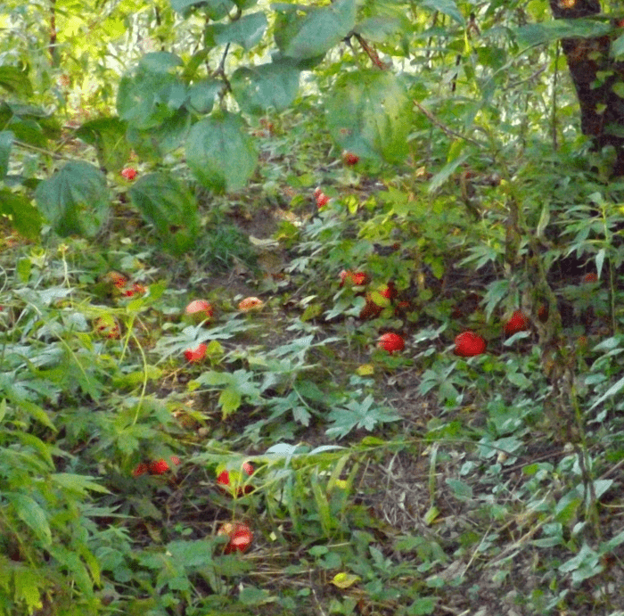 windfall-red-apples-fall-afternoon