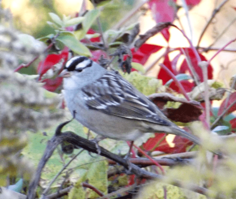 black-white-striped-sparrow-head-autumn-afternoon