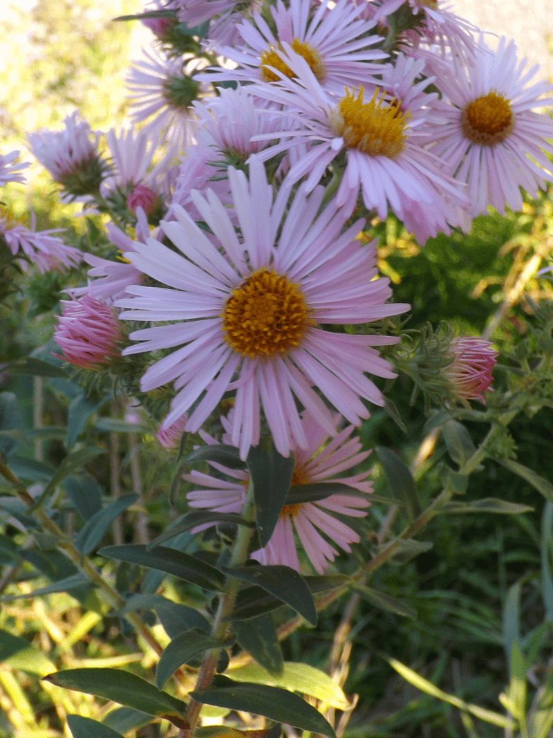 pink-michaelmas-daisies-autumn-asters-fall-afternoon
